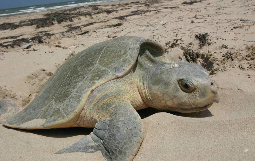 Une tortue sur la plage du Petit Nice