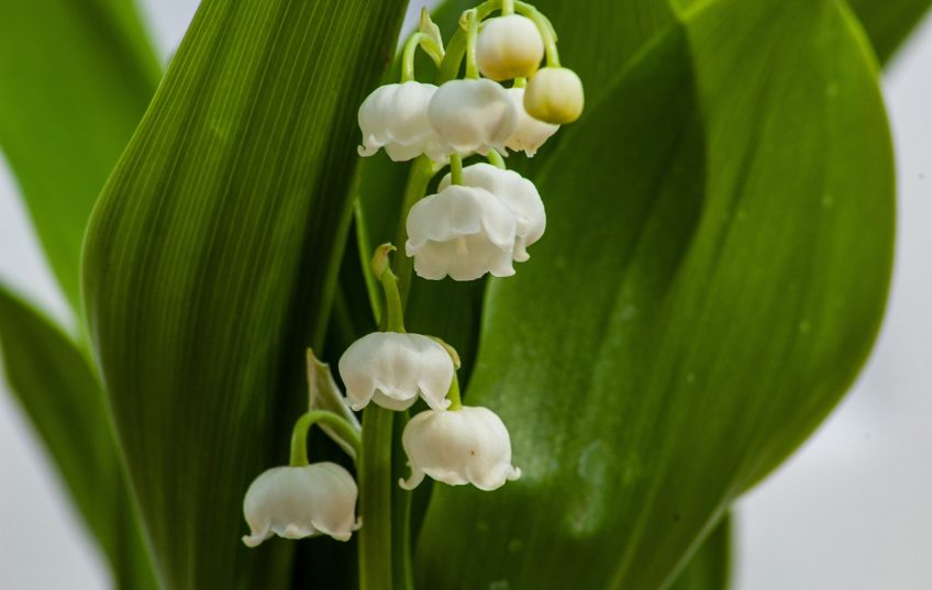 La tradition du muguet